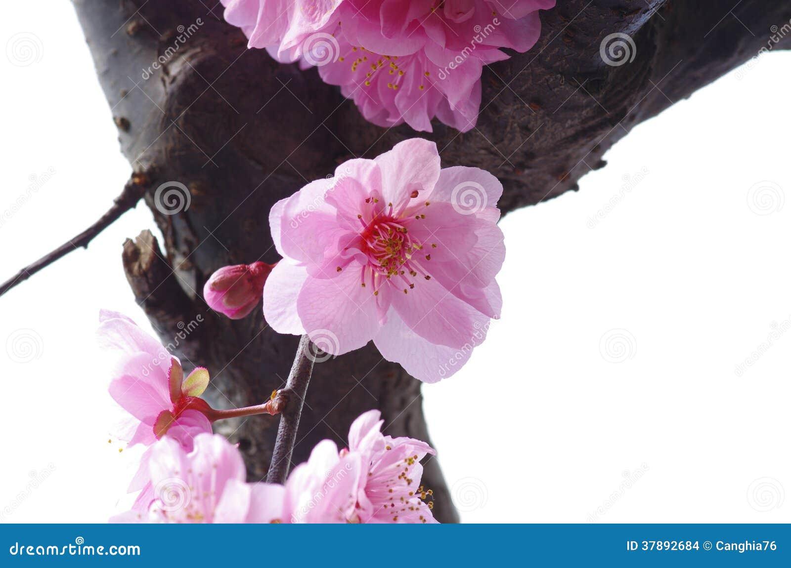 Pruimbloem het bloeien