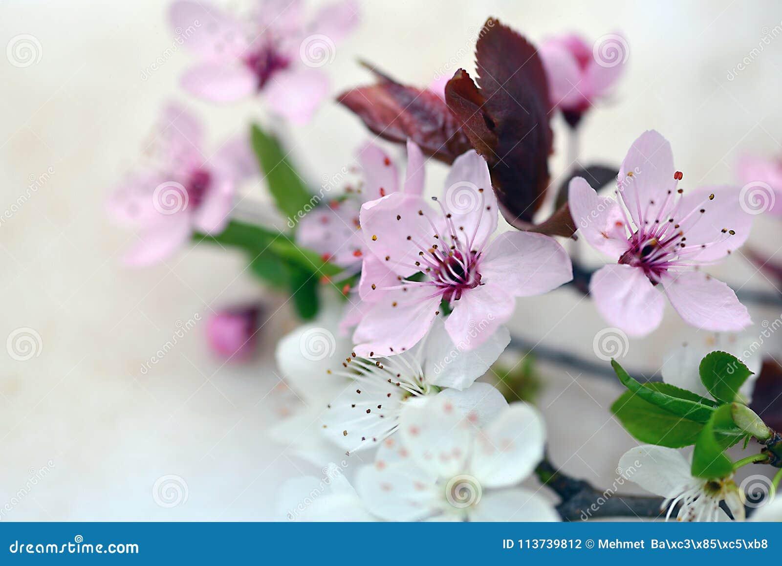 Pruimbloemen die in de lentetijd openen