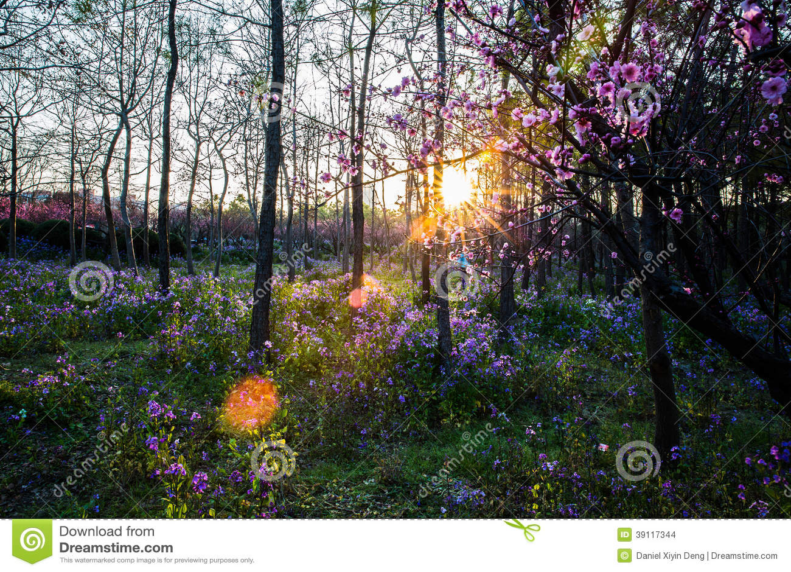 Pruimbloesems met zonsondergang