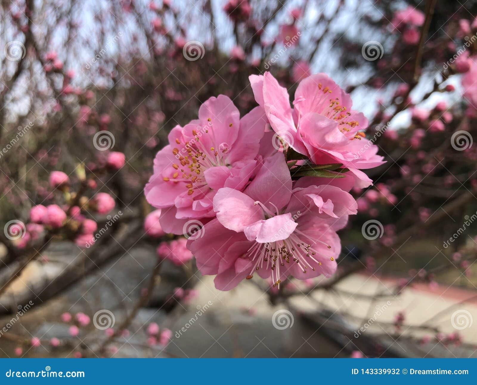 Pruimbloesems in volledige bloei