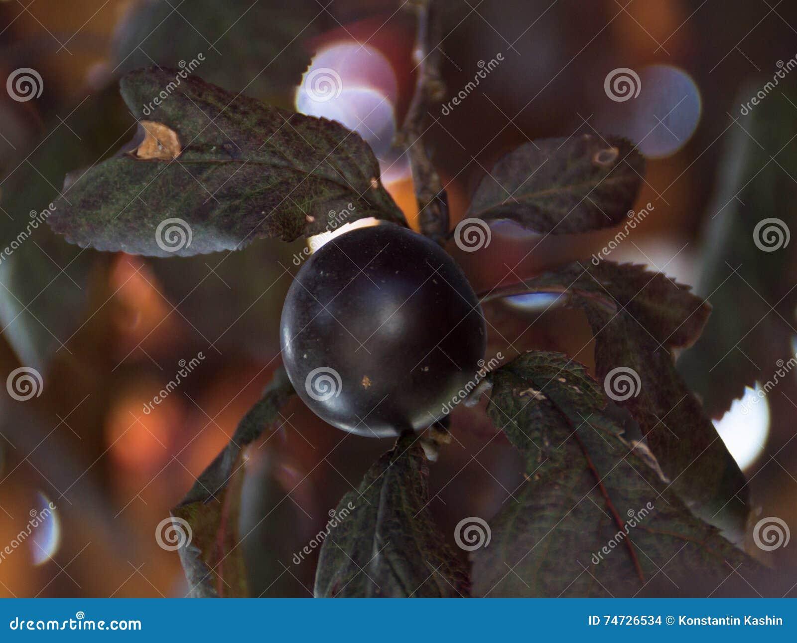 prune dans un arbre feuilles rouge foncé photo stock - image du