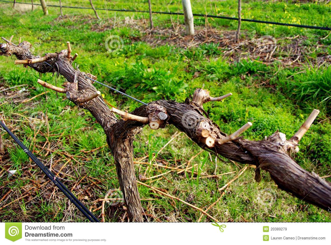 Pruned Grape Vine Stock Image Image Of Grapevines Gardening