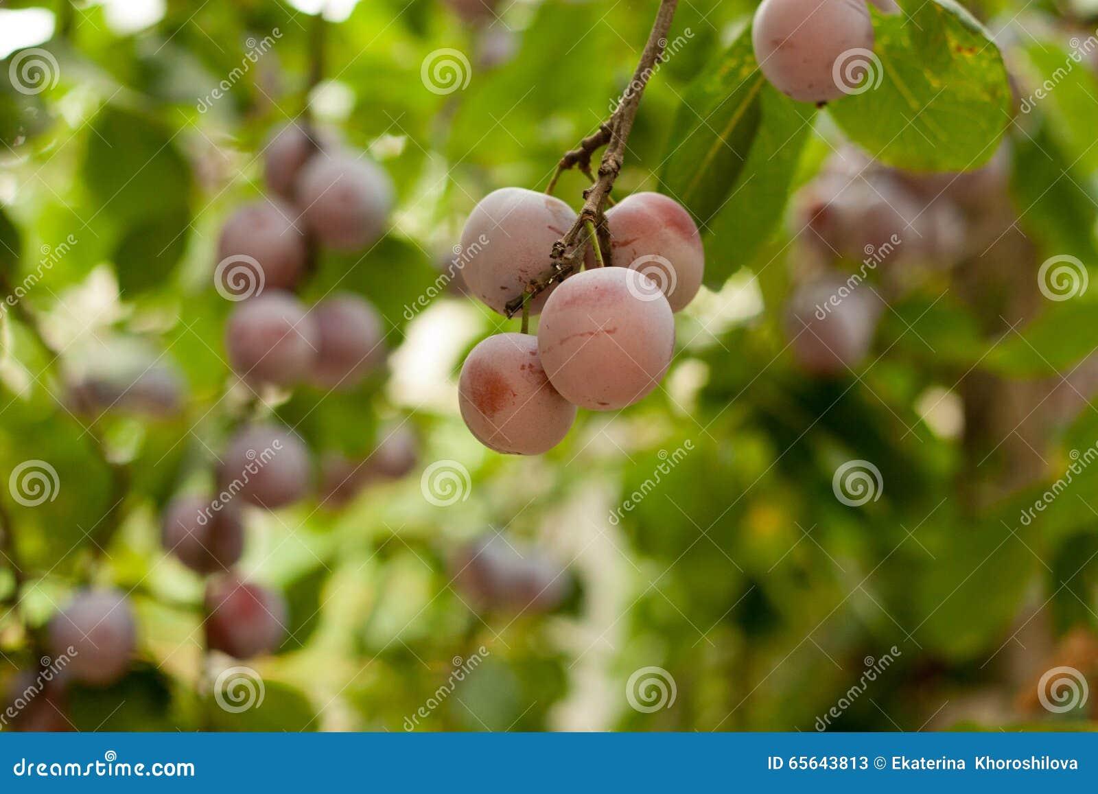 Prunier avec les fruits juteux