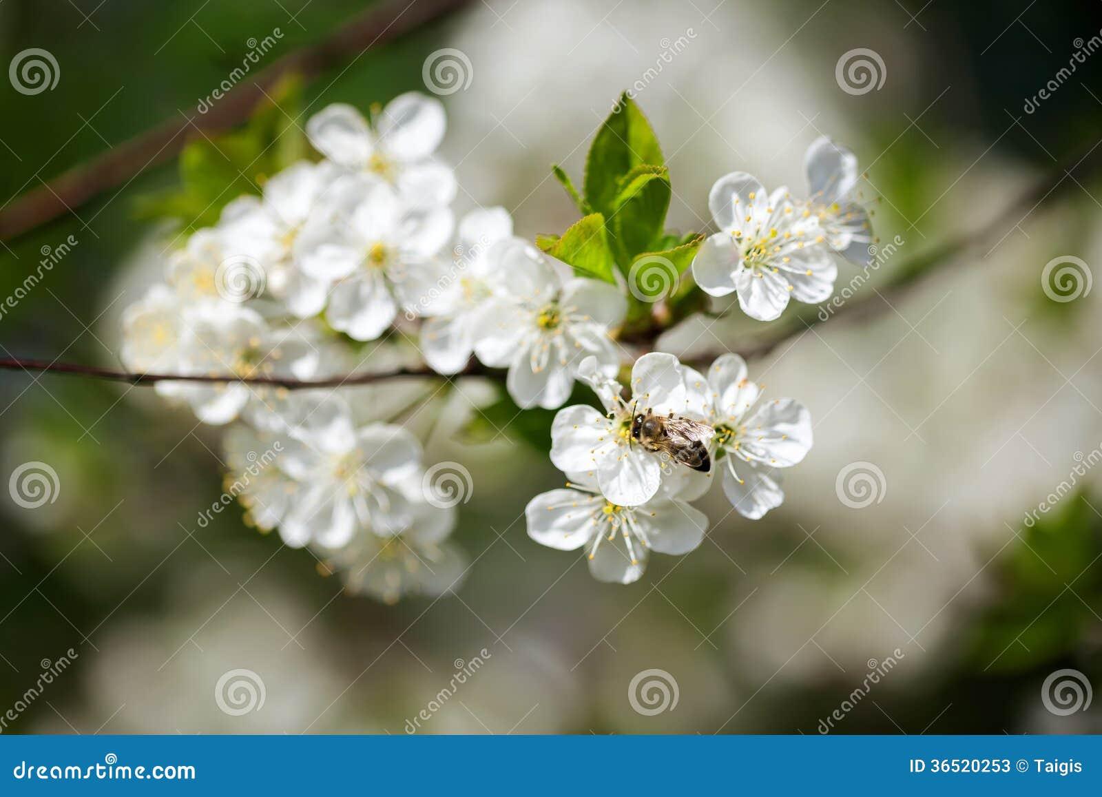 Prunier de floraison de beau ressort