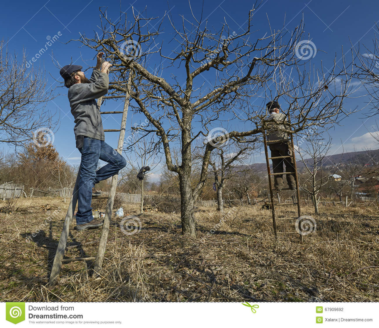 Pruning Apple Trees Stock Photo Image Of Agricultural 67909692