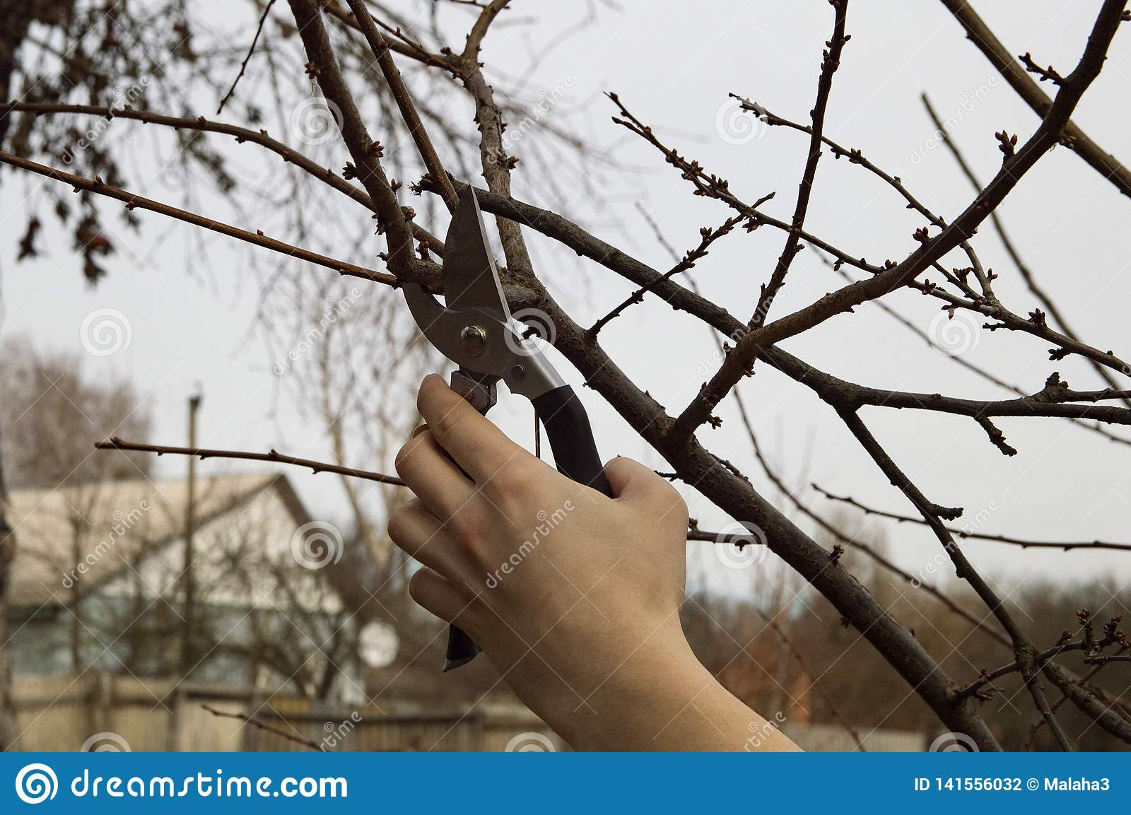 Pruning trees in the garden - man`s hand with shears