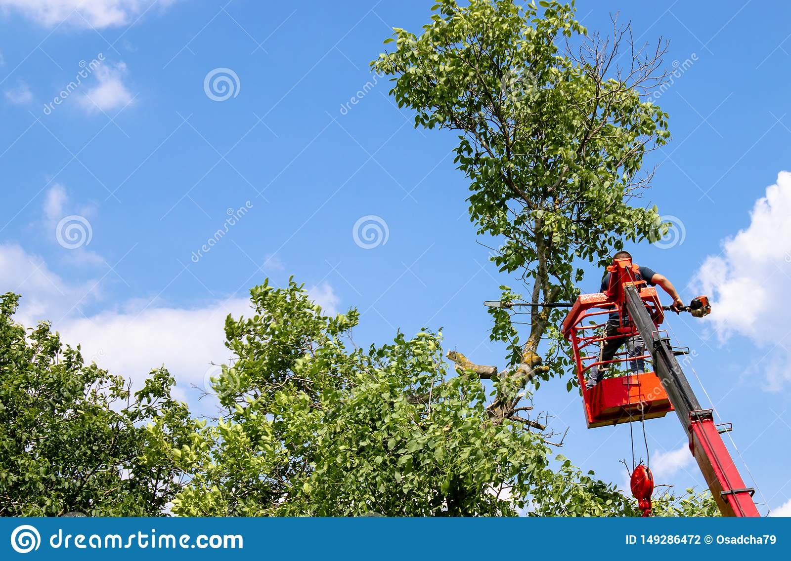 Pruning trees and sawing a man with a chainsaw, a man at high altitude between the branches of an old large tree