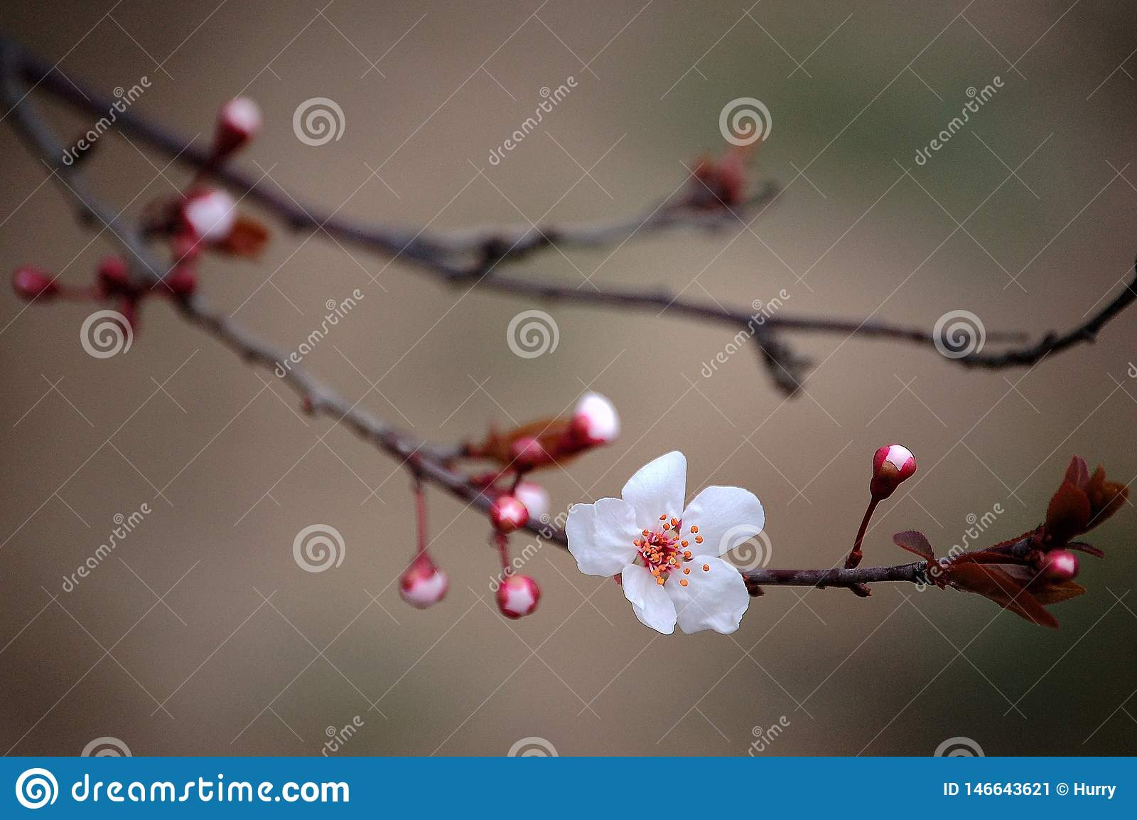 Prunus cerasifera blooming in spring