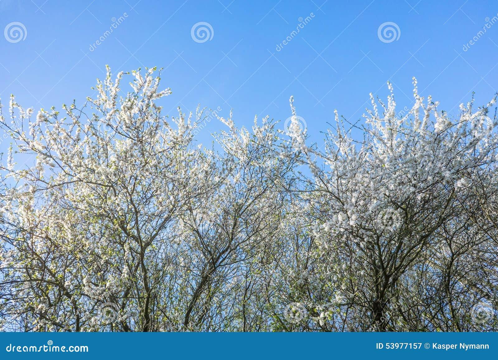 Prunus Cerasifera drzewo w wiośnie