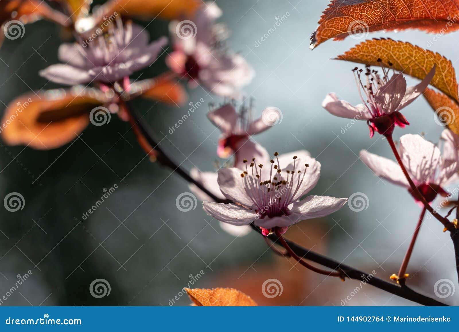 Prunus Cerasifera Pissardii Tree blossom with pink flowers. Spring twig of Cherry, Prunus cerasus on  beautiful blurred