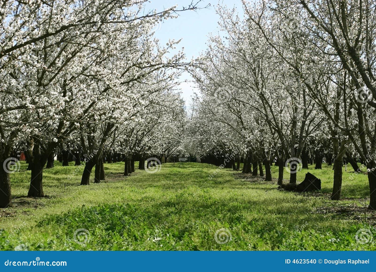 Prunus Dulcis, Flowering Nonpareil Almond Tree Bra Stock ...