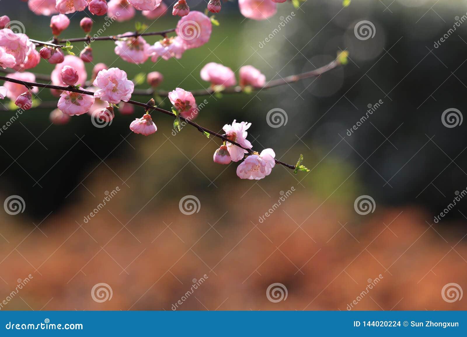 Prunus Mume Meiren Prunus Blireana Cv Meiren Stock Photo