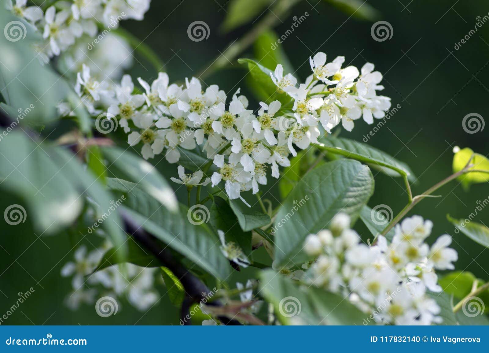 Prunus padus bird cherry tree blooming during spring group of small download prunus padus bird cherry tree blooming during spring group of small white flowers and mightylinksfo