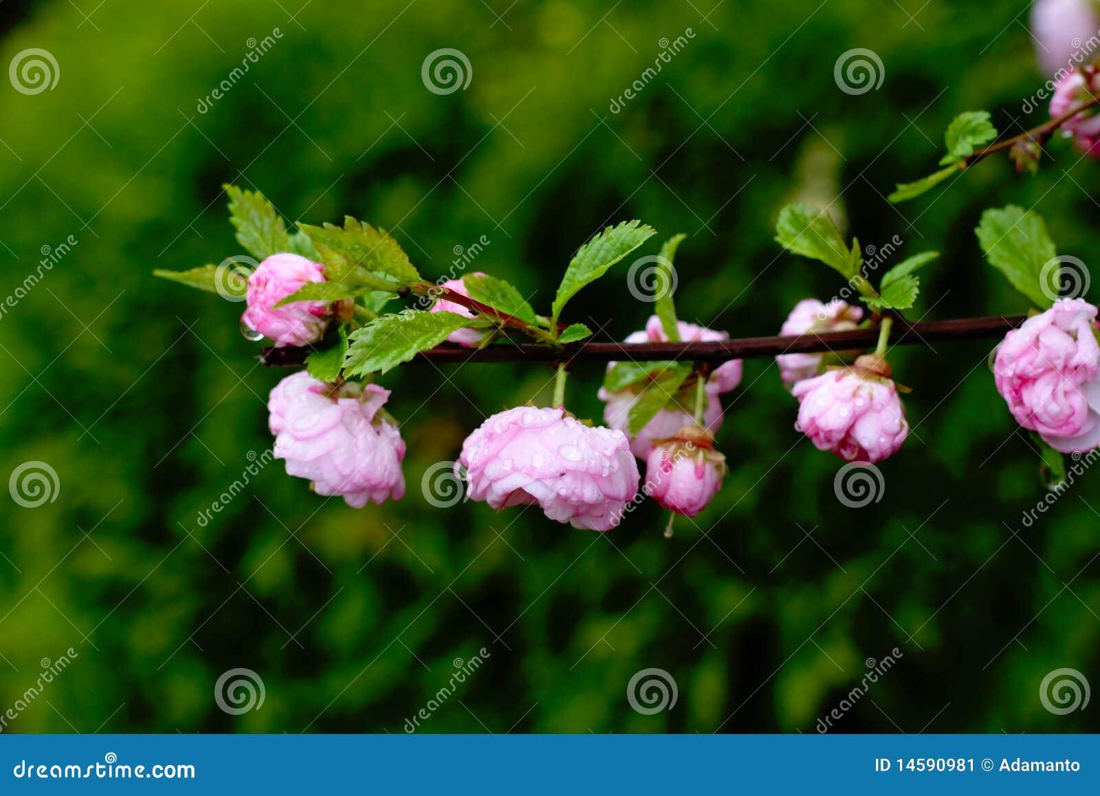 Prunus Triloba Flowering Almond Stock Image Image