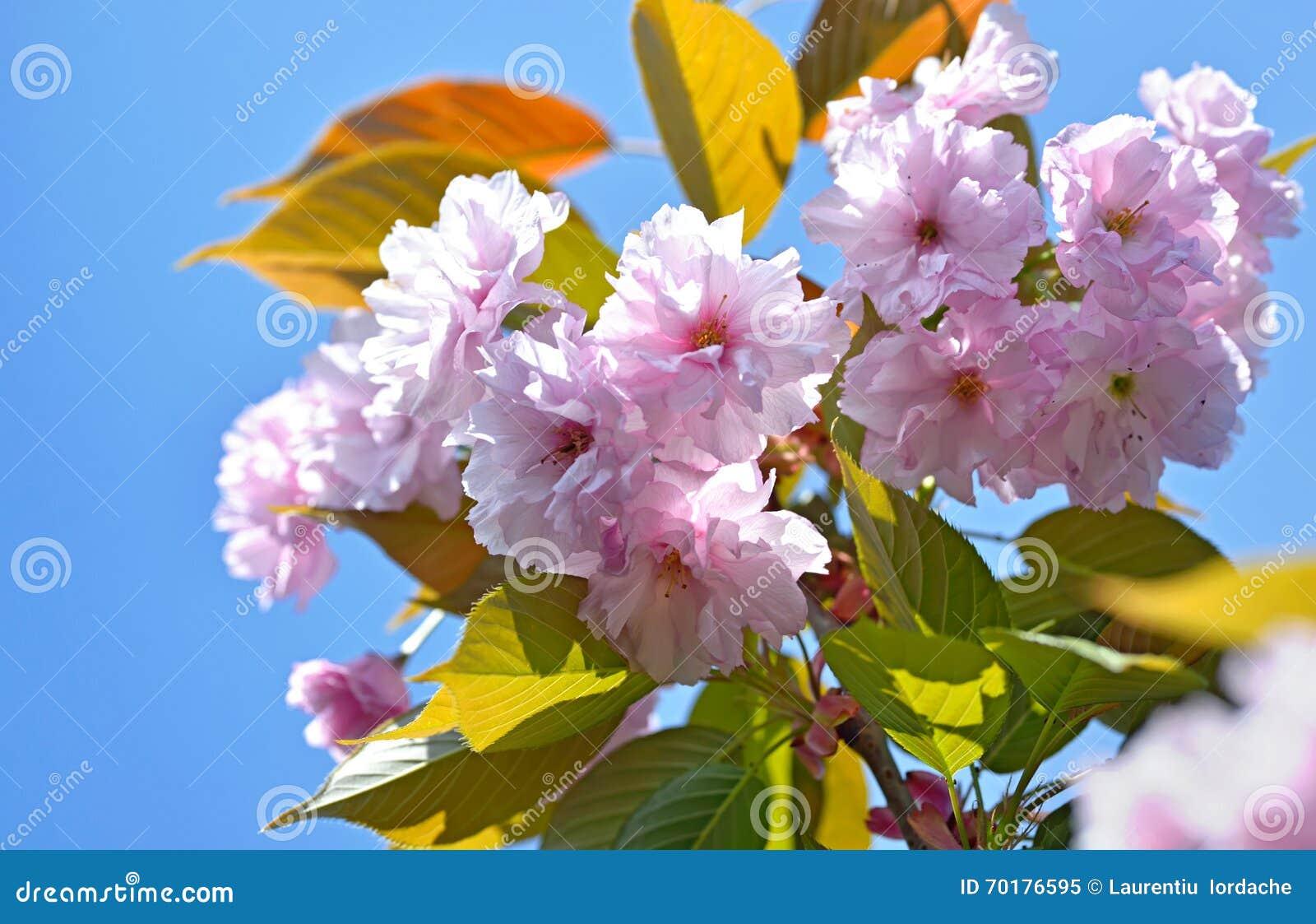 Prunusserrulataträd