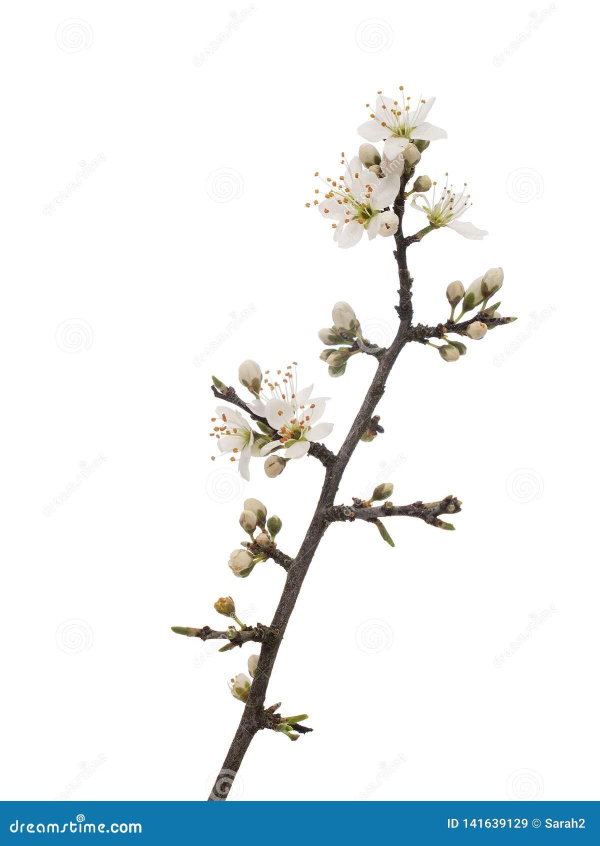 Prunusspinosa, de sleedoornbloesem van sleedoornaka in lente, op witte achtergrond wordt de geïsoleerd die De gevoelige witte blo