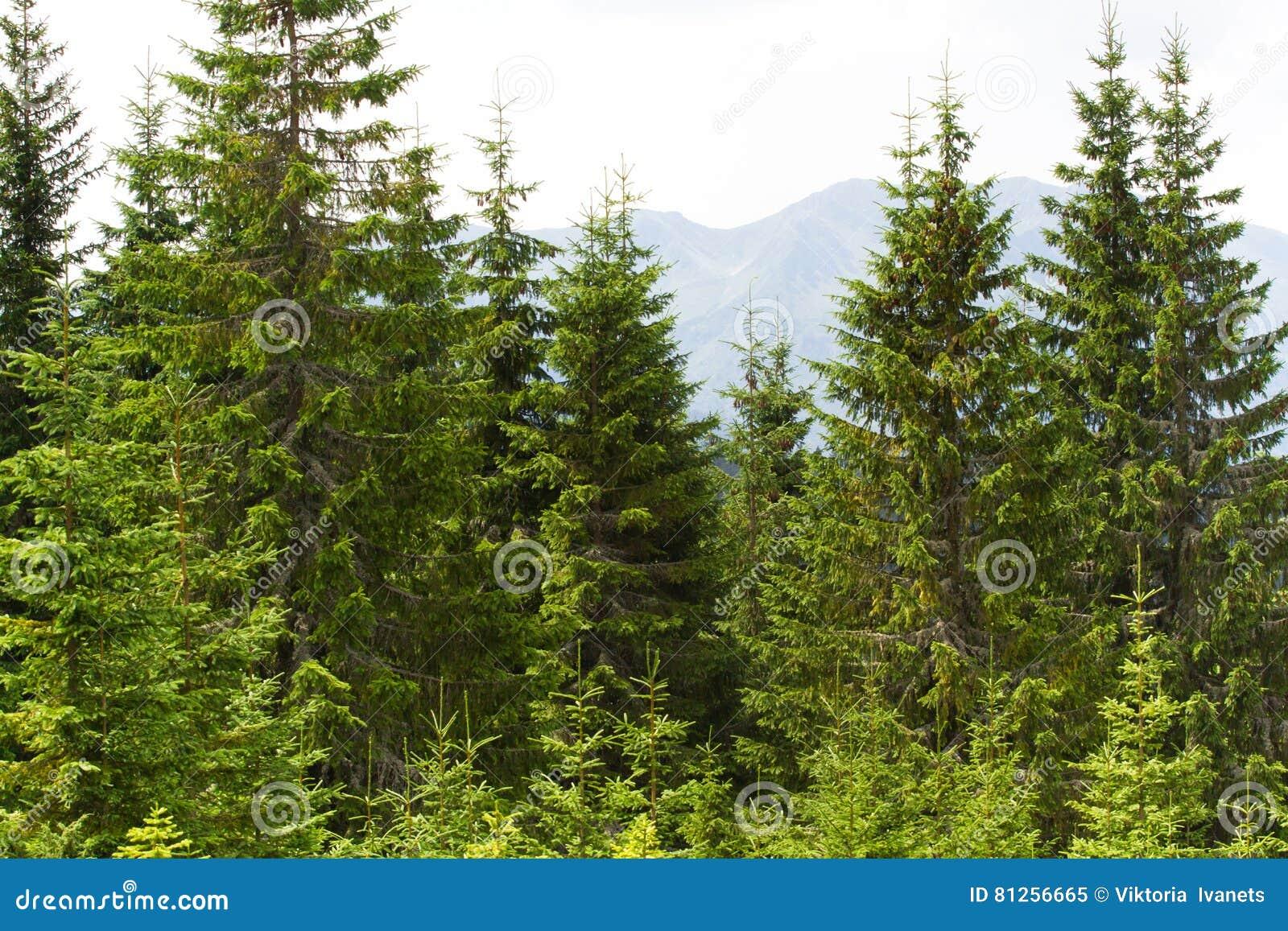 Prydlig skog i de ukrainska Carpathiansna Hållbart klart ekosystem