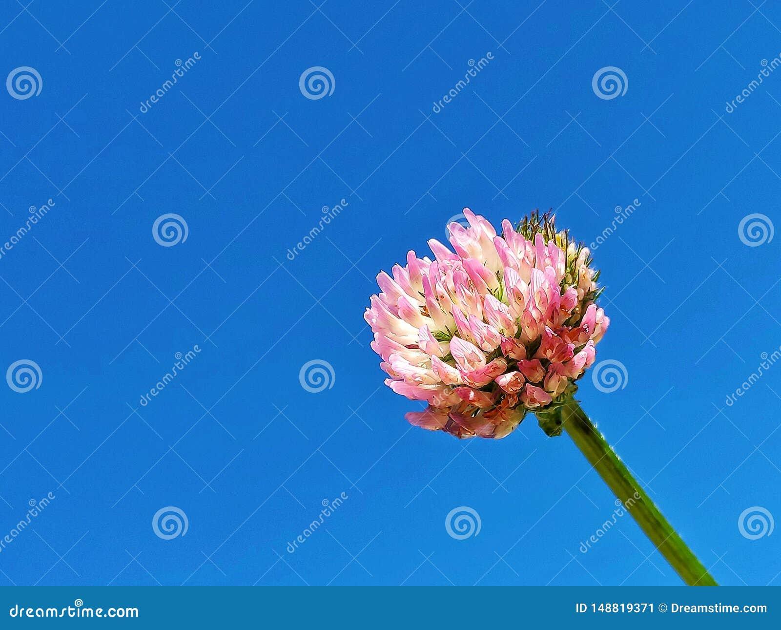 Przeciw kwiatu b??kitny koniczynowemu niebu