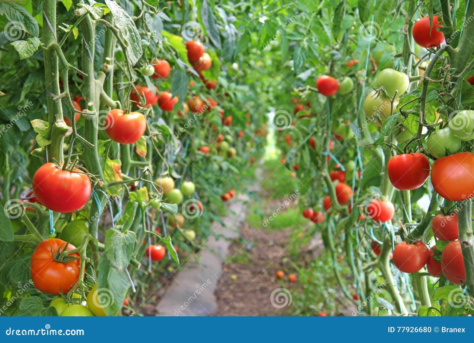 Przednia pomidorowego w dojrzały widok