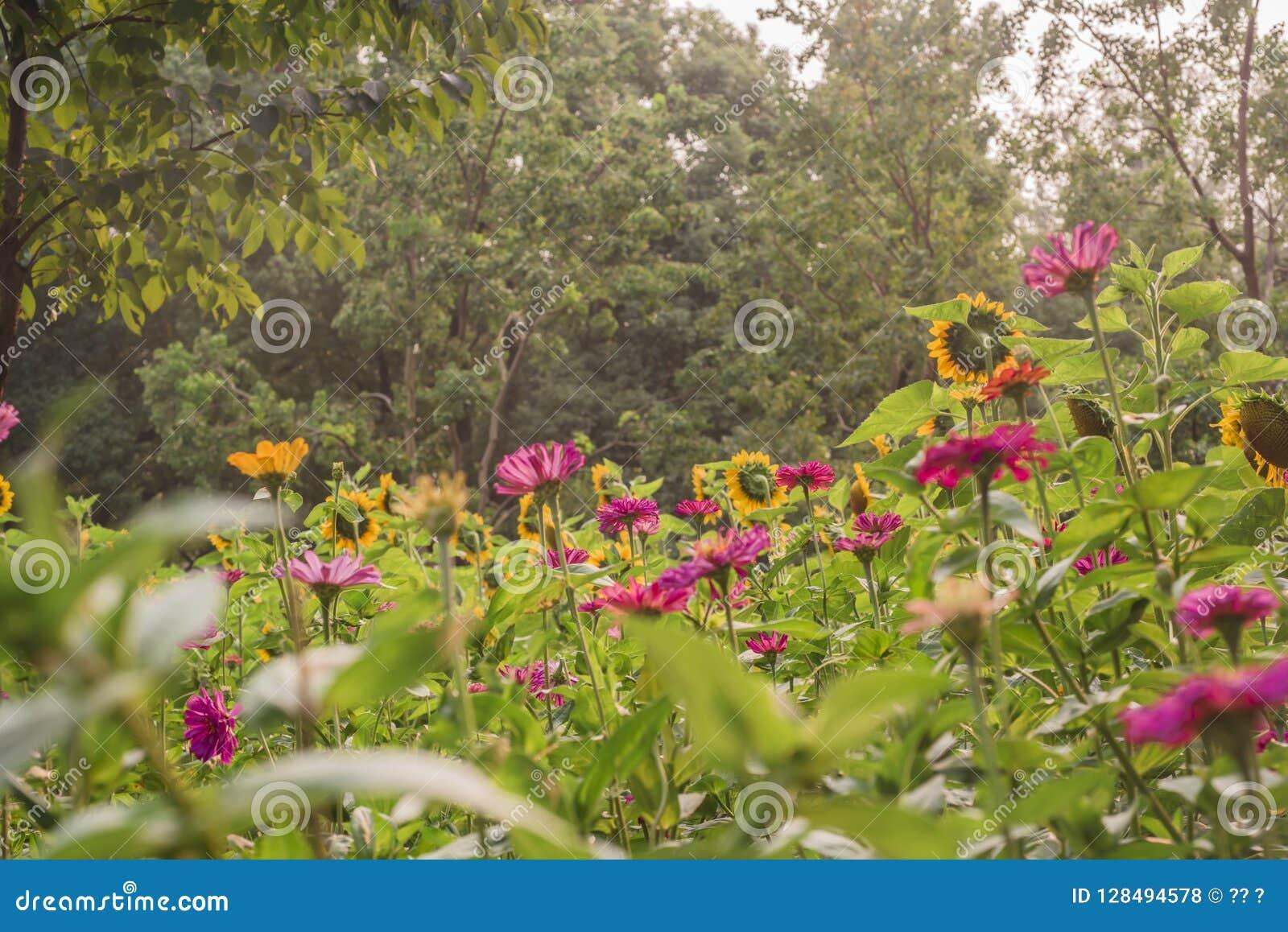 Przedpole jest słonecznikowym kwiatu tłem jest zielonym drzewem
