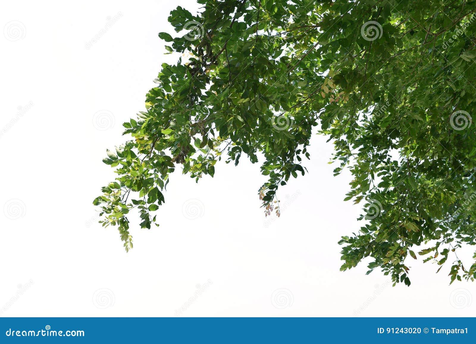 Przedpole luksusowi drzewa odizolowywający na białym tle