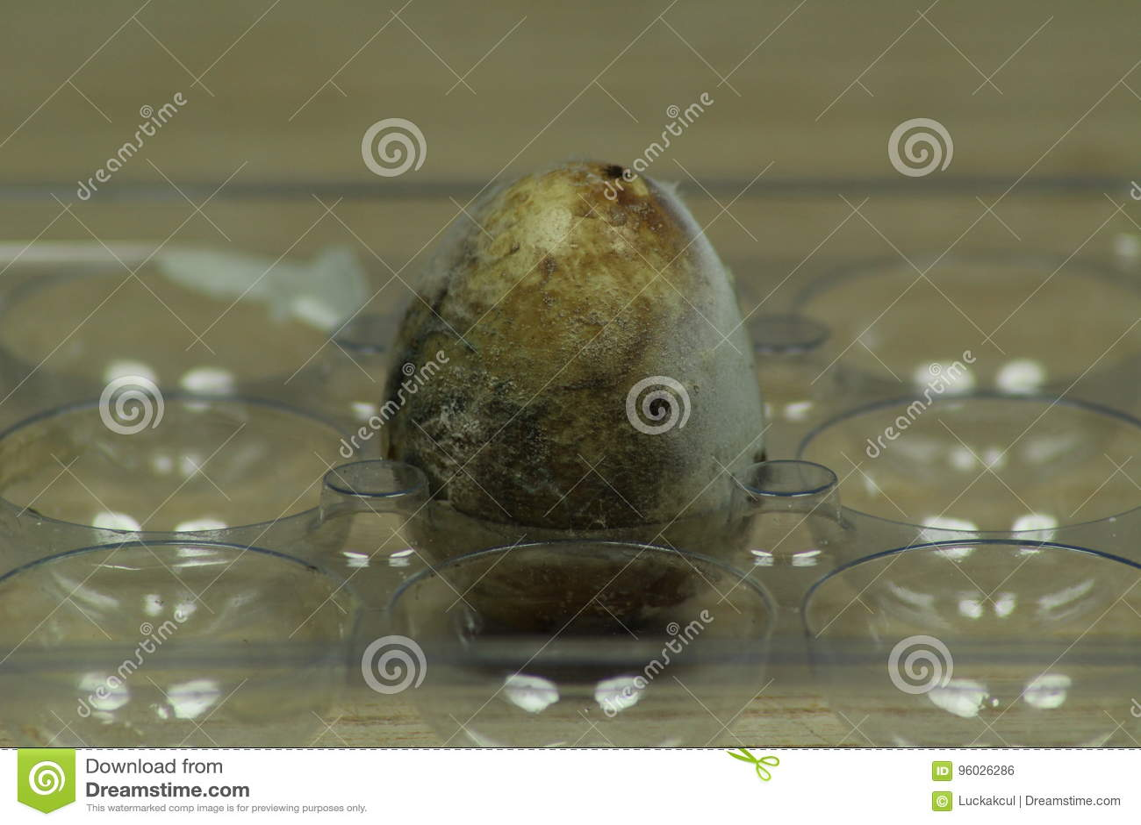 Przegniły przepiórki jajko