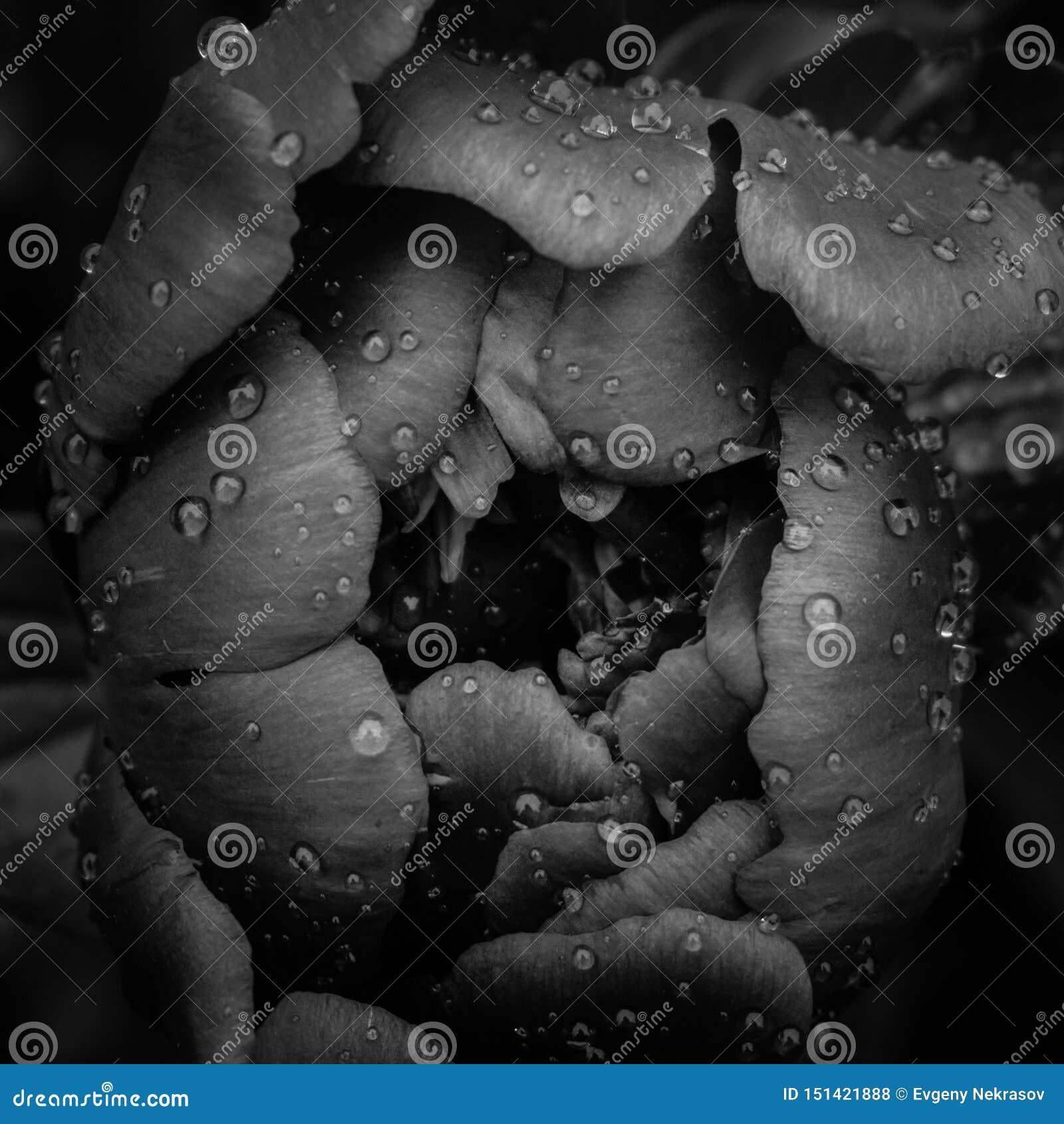 Przejrzyste krople woda jak łzy na czarnej peoni opłakuje płatkach