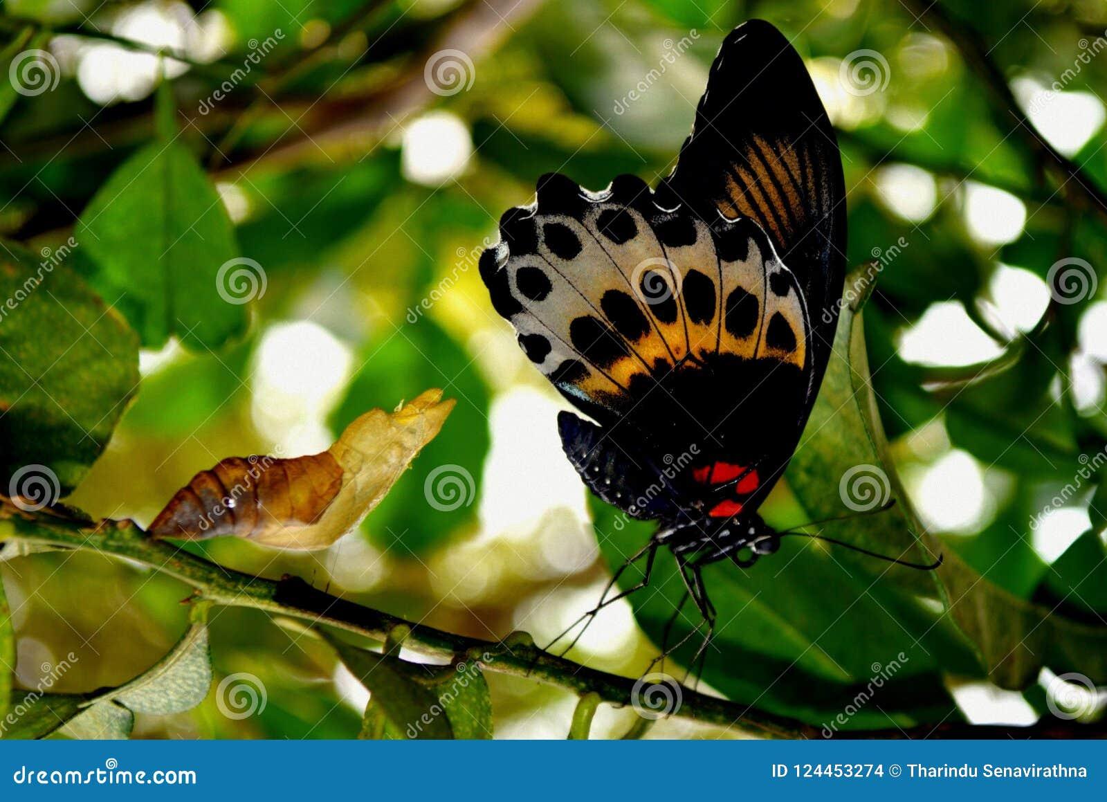 Przekład Delphi, karmazyn róża - motyl, Uskrzydla Vetical w profilu