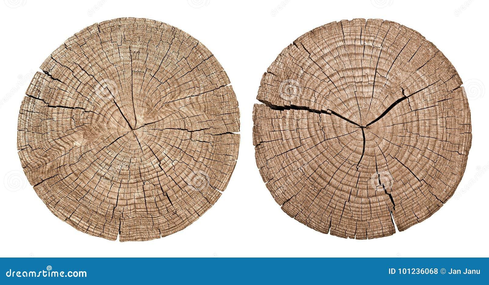 Przekrój poprzeczny drzewny bagażnik