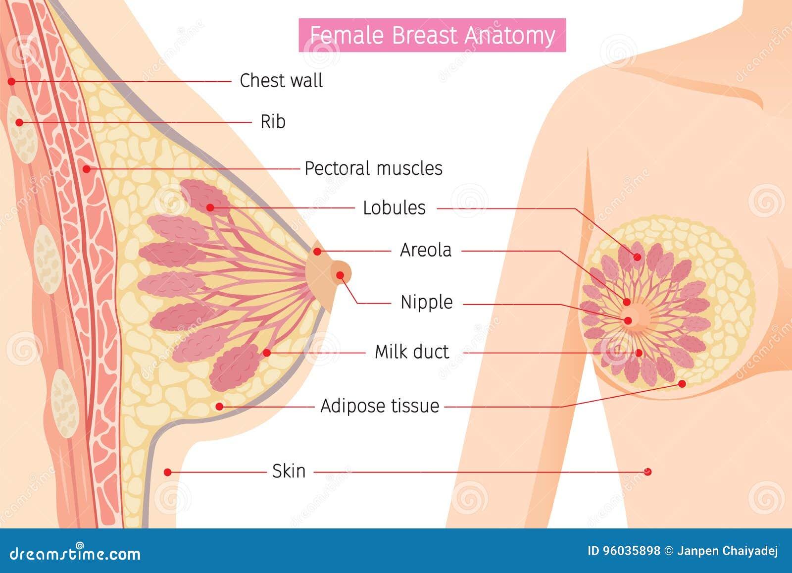 Przekrój Poprzeczny Żeńska piersi anatomia