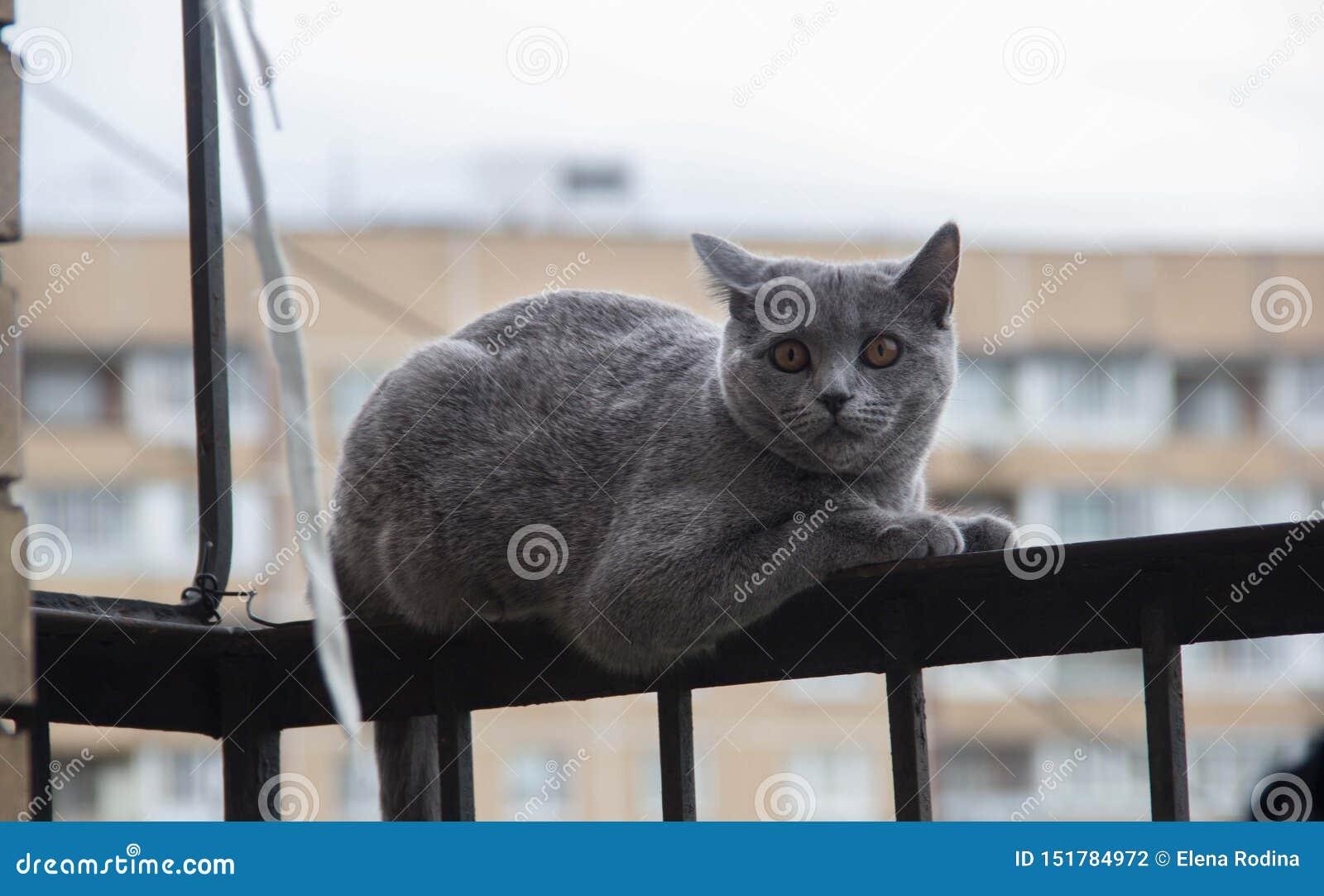 Przel?k?y i zdziwiony Szary kot przygl?daj?cy z szeroko otwarty oczami up