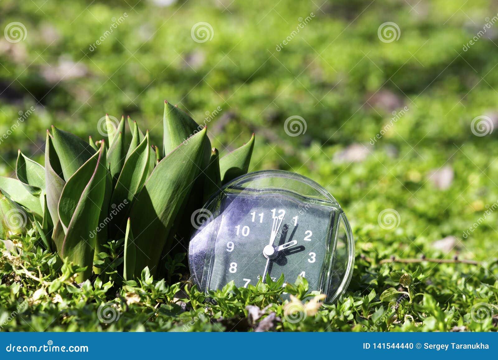 Przemiana lato czas przyjazd wiosna zegar na zielonej wiosny trawie obok młodego unblown tulipanowego kwiatu