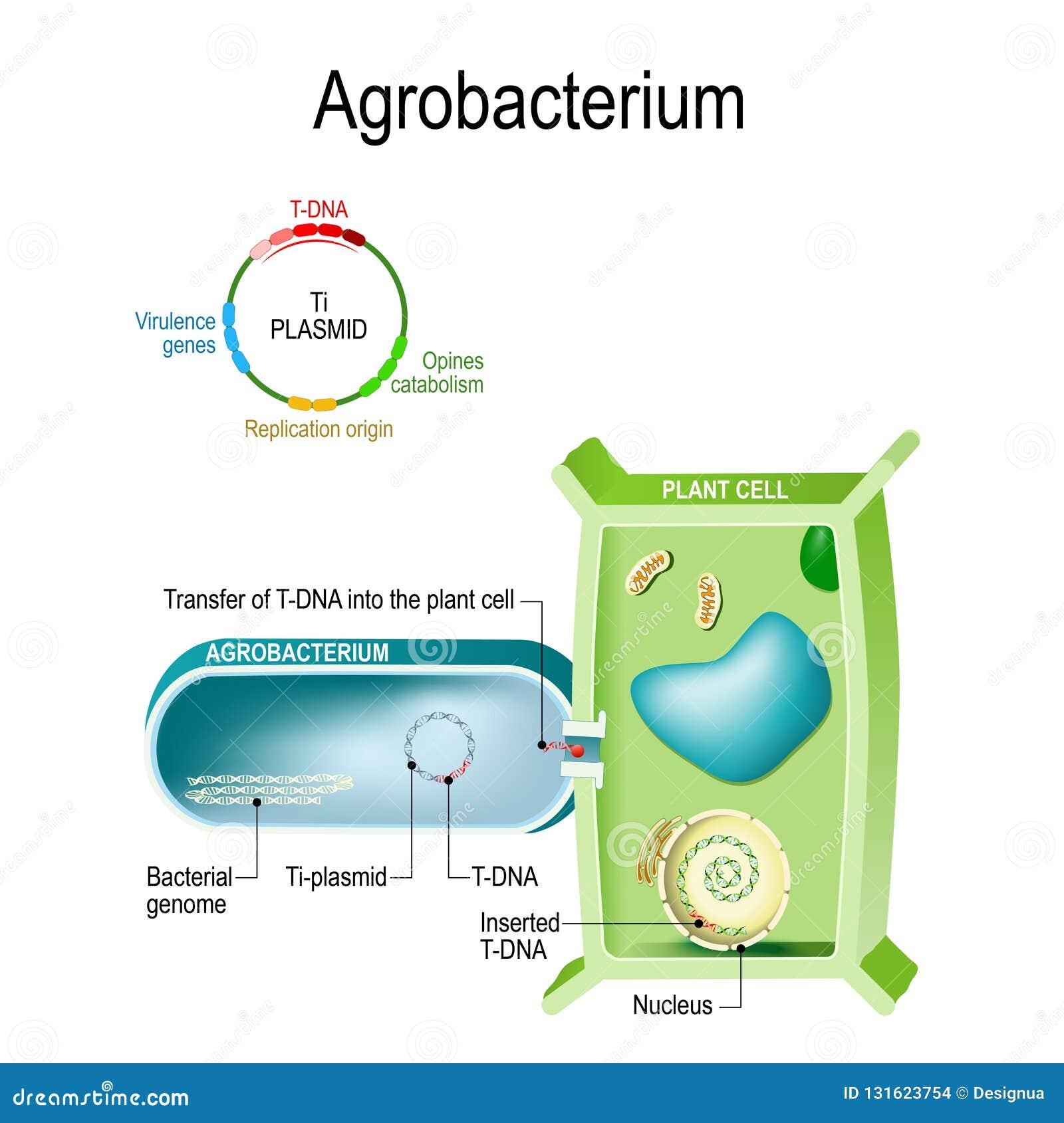 Przeniesienie T-DNA w rośliny komórkę od Agrobacterium Ten bakteria jest naturalnym genetycznym inżynierem, to może przyczepienie