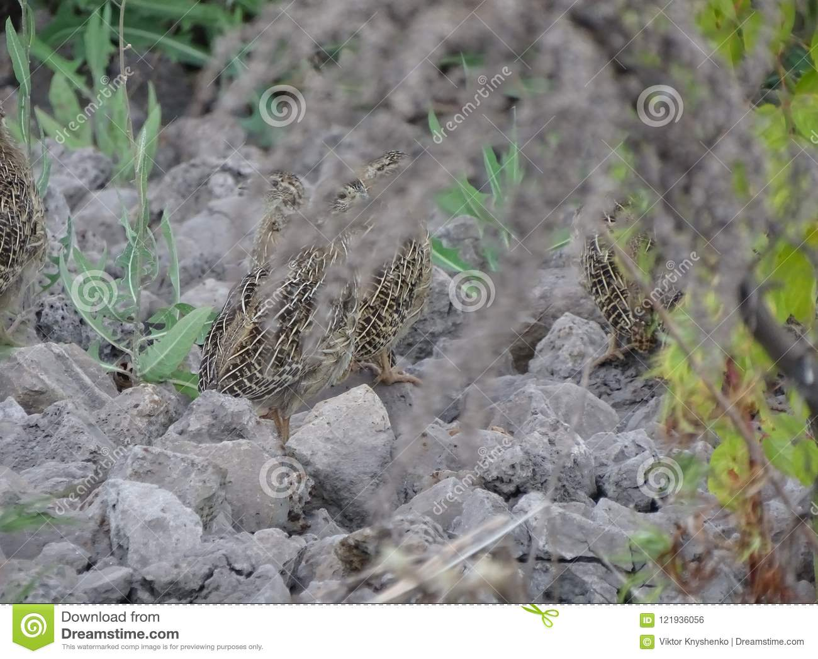 Przepiórki zamaskowany obsiadanie na kamieniach
