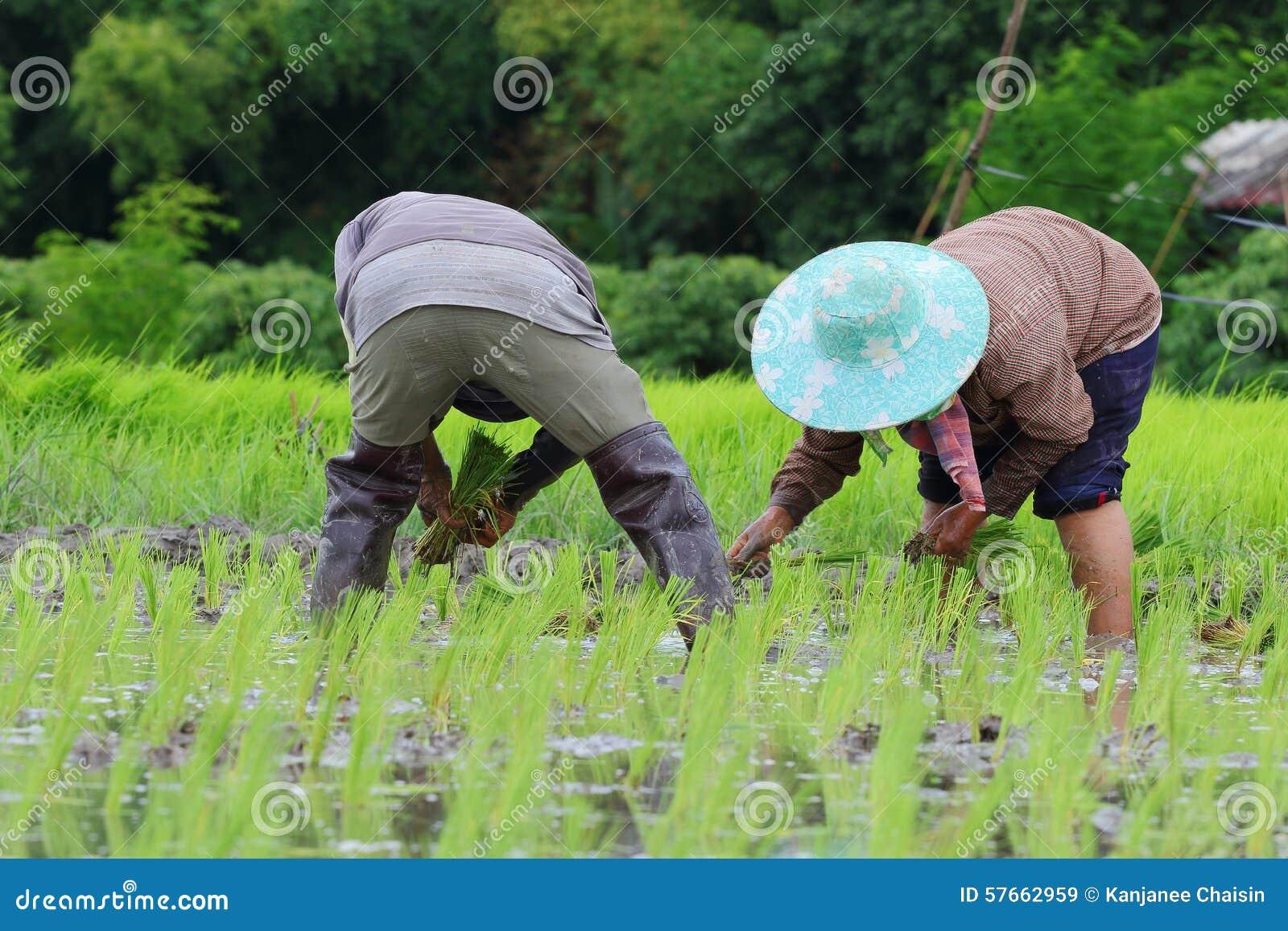 Przeszczepów ryż rozsady