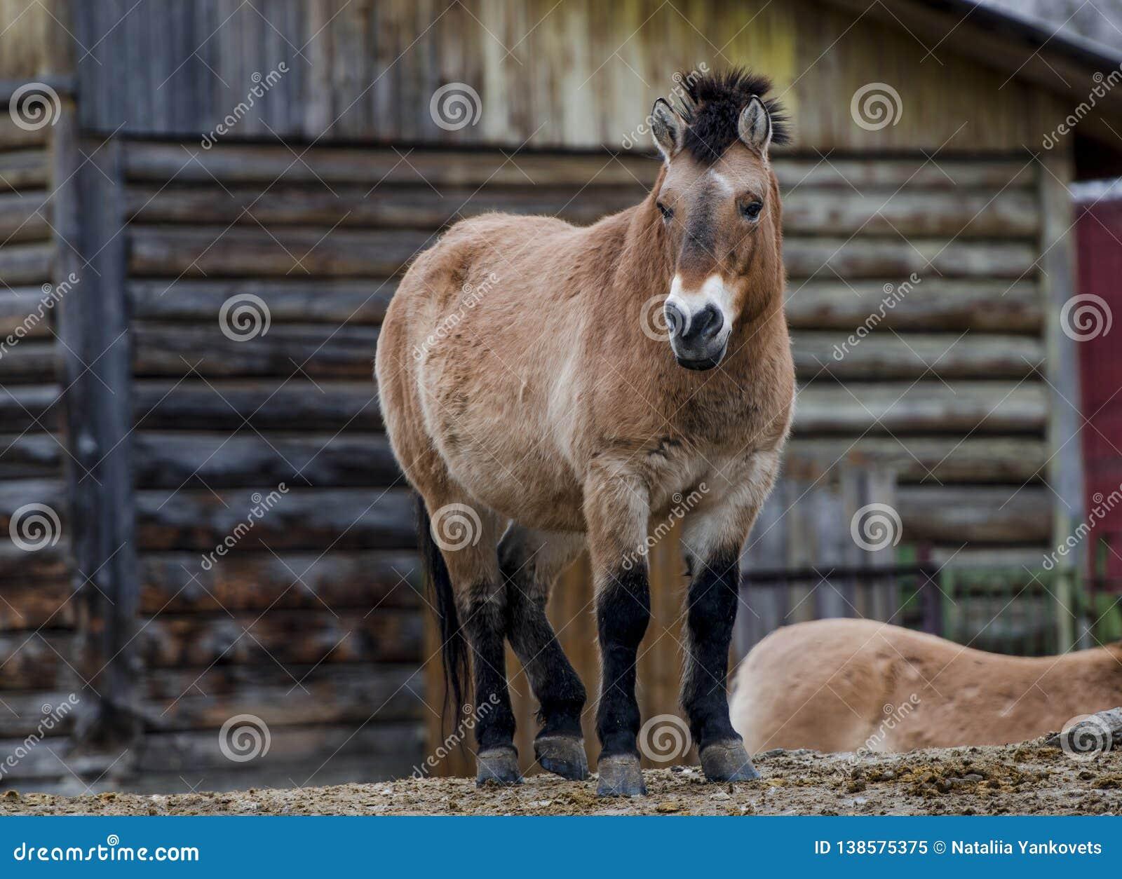Przewalski& x27 ; cheval de s se tenant sur la colline dans le zoo