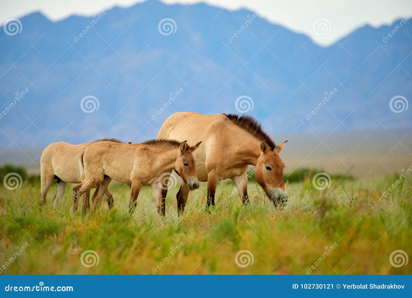 Przewalski hästar i Altynen Emel National Park i Kasakhstan