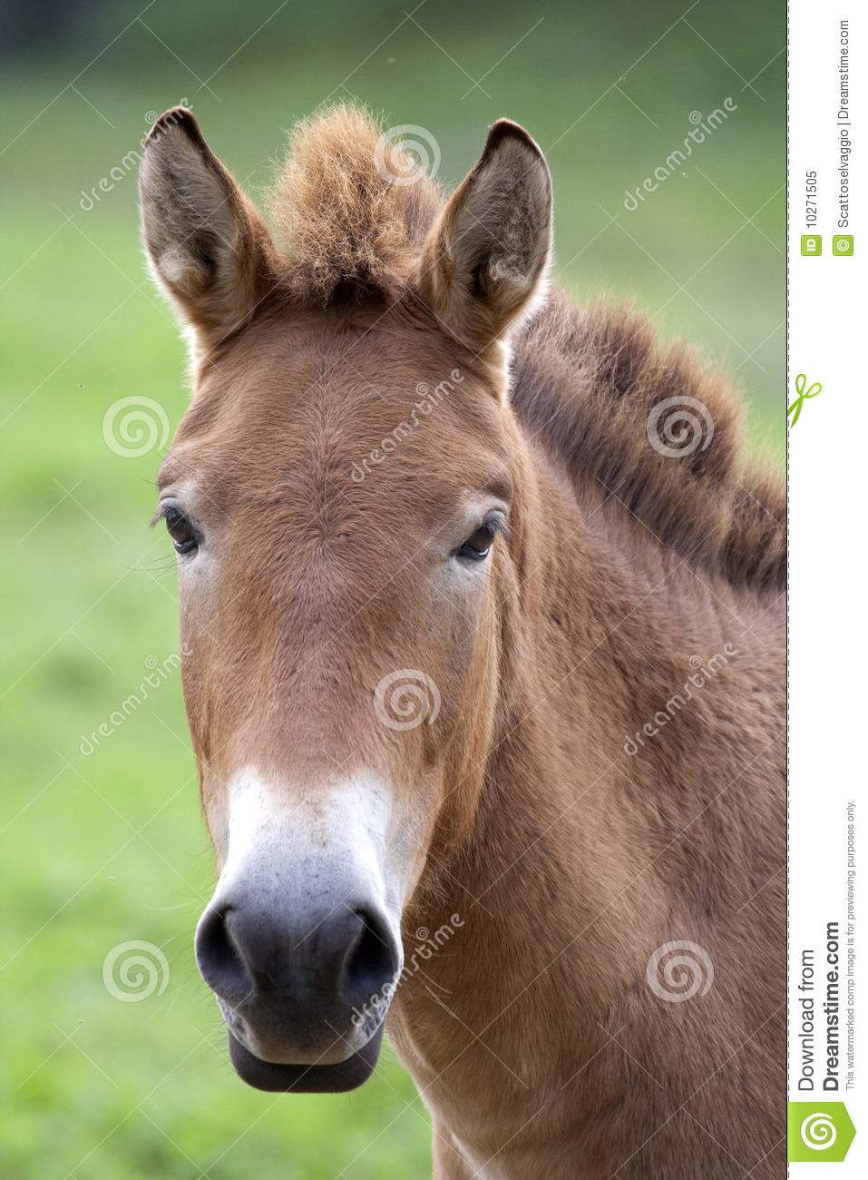 Przewalski s Horse (Equus ferus przewalskii). Przewalski's (or Dzungarian) horse is a rare and endangered subspecies of wild horse native to the steppes of central Asia. At one time extinct in the wild, it has been reintroduced to its native habitat in Mongolia. Most wild horses today, such as the American Mustang or the Australian Brumby, are actually feral horses descended from domesticated animals that escaped and adapted to life in the wild. In contrast, Przewalski's Horse has never been successfully domesticated and remains a truly wild animal today. The horse is named after the Russian geographer and explorer Nikolai Przhevalsky.