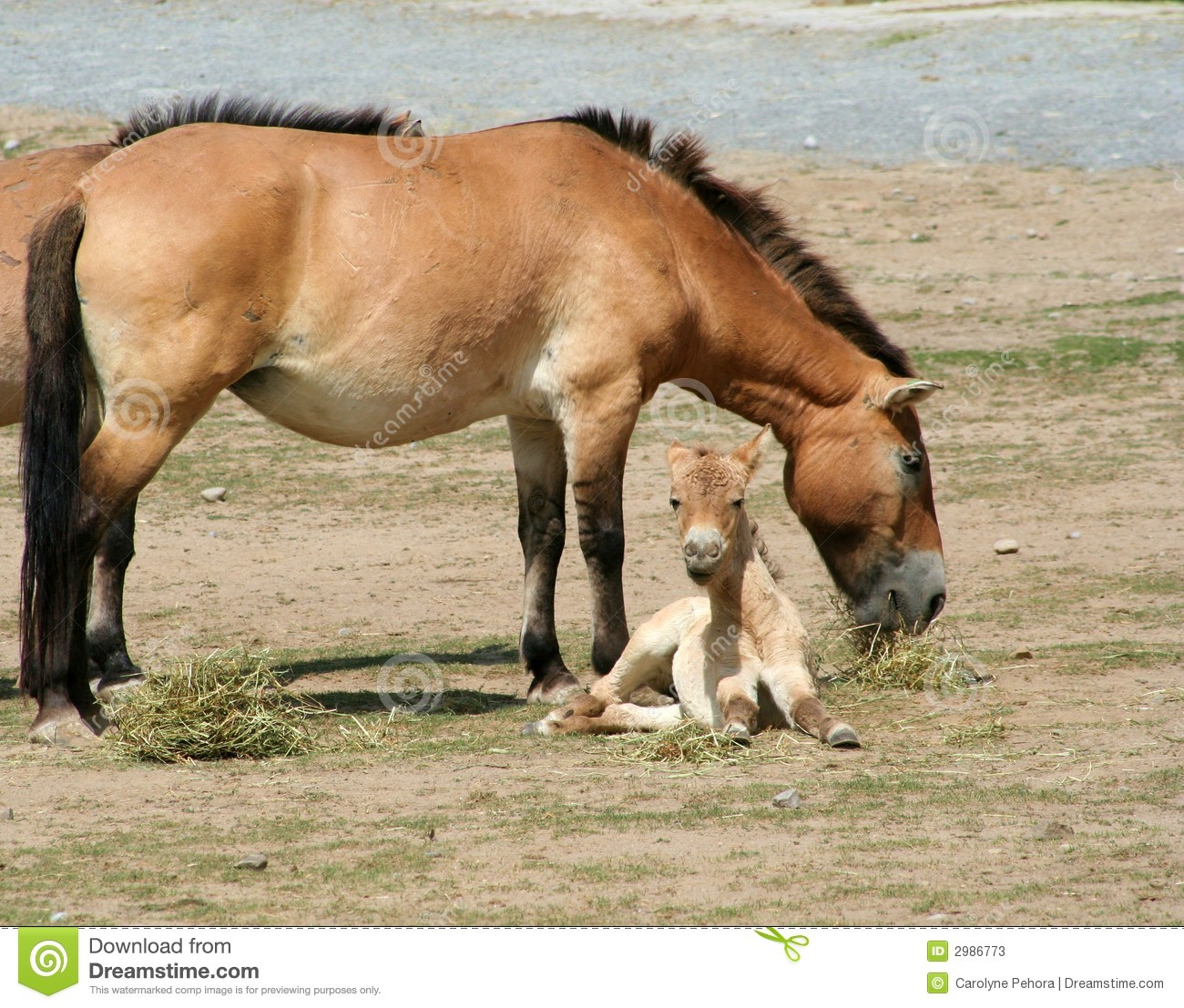 Przewalski's Horse And Foal Stock Photos - Image: 2986773Western Desert Clipart