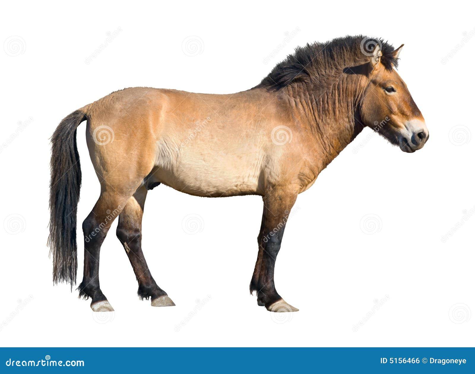 asian singles in caballo Il caballo peruano de paso è il prodotto di quattro secoli di adattamento dei  cavalli europei all'arido suolo costiero peruviano e della selezione degli  allevatori,.