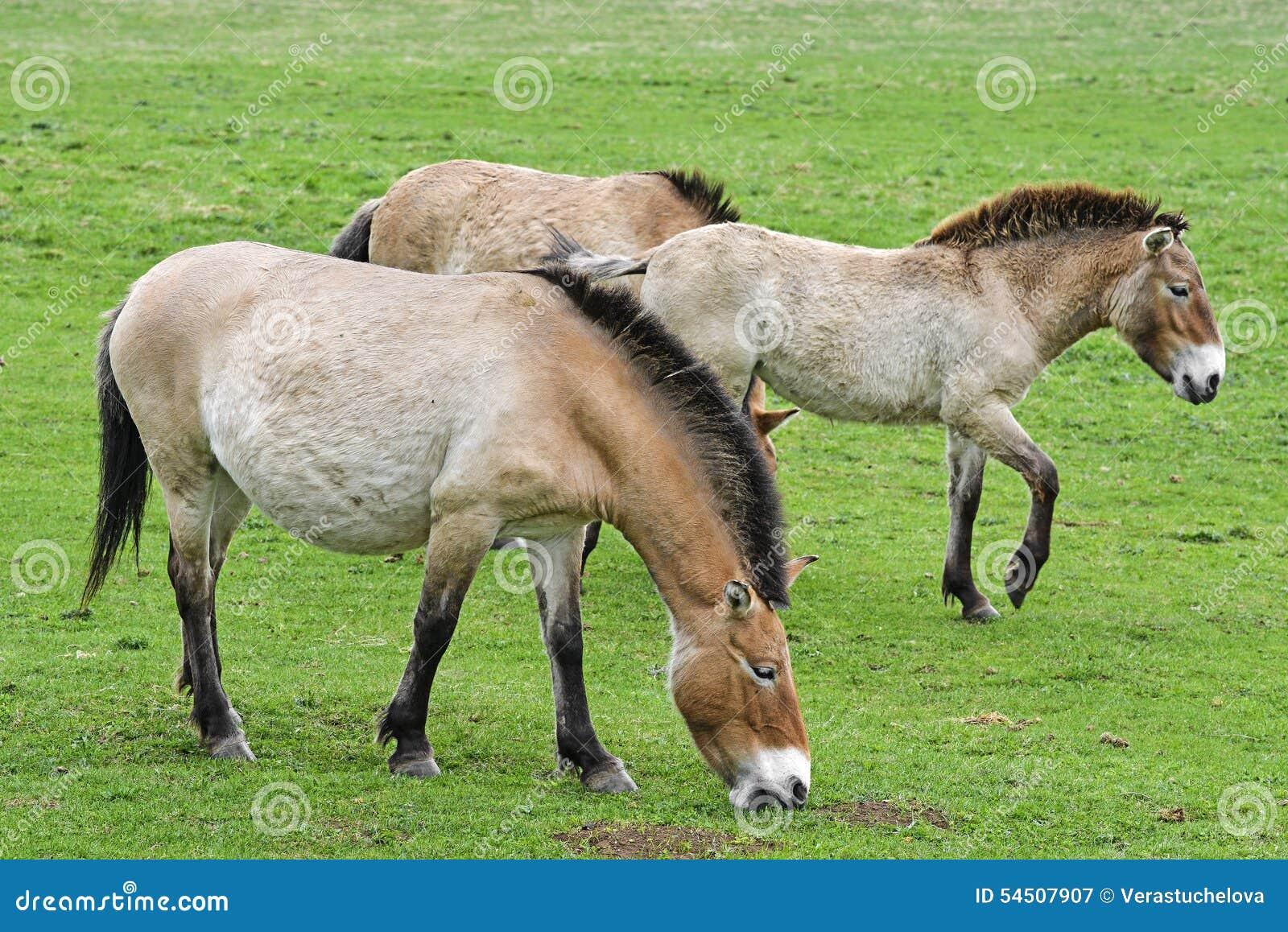 Przewalskii d Equus - chevaux sauvages