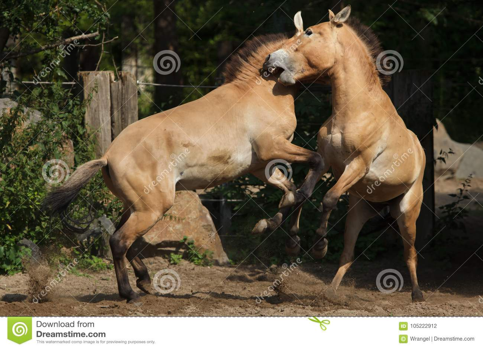Przewalskii för ferus för Equus för häst för Przewalski ` s