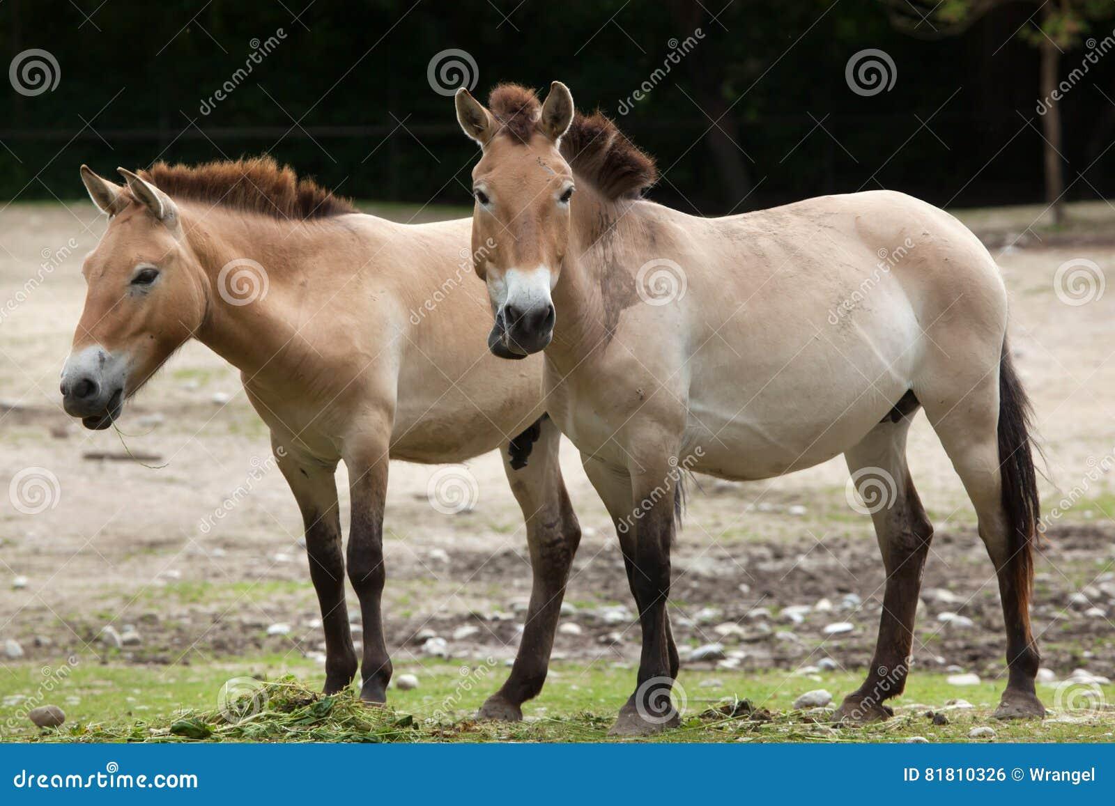 Przewalskii ferus Equus лошади ` s Przewalski