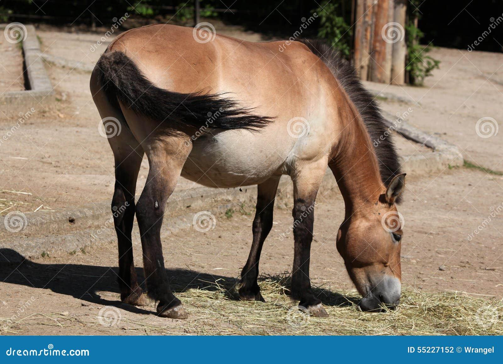 Przewalskii s för przewalski för equusferushäst