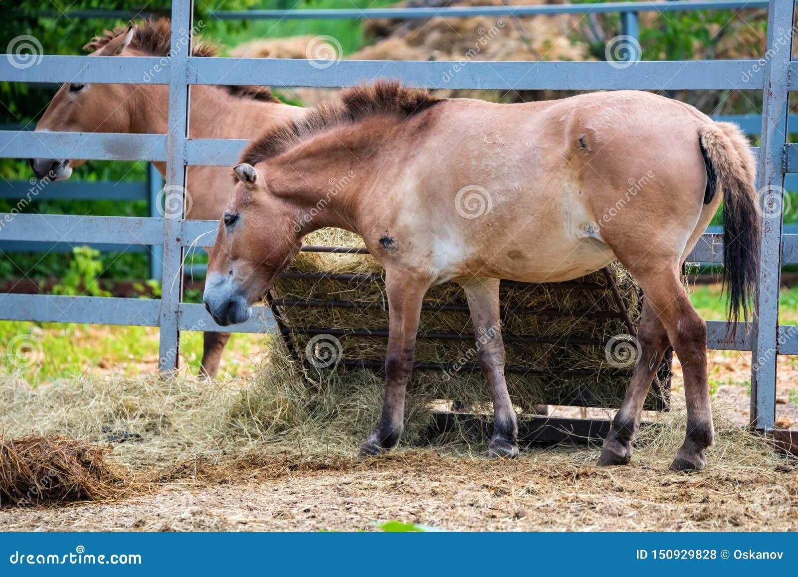 Przewalskis przewalskii för häst- eller Equusferus i fångenskapsidosikt