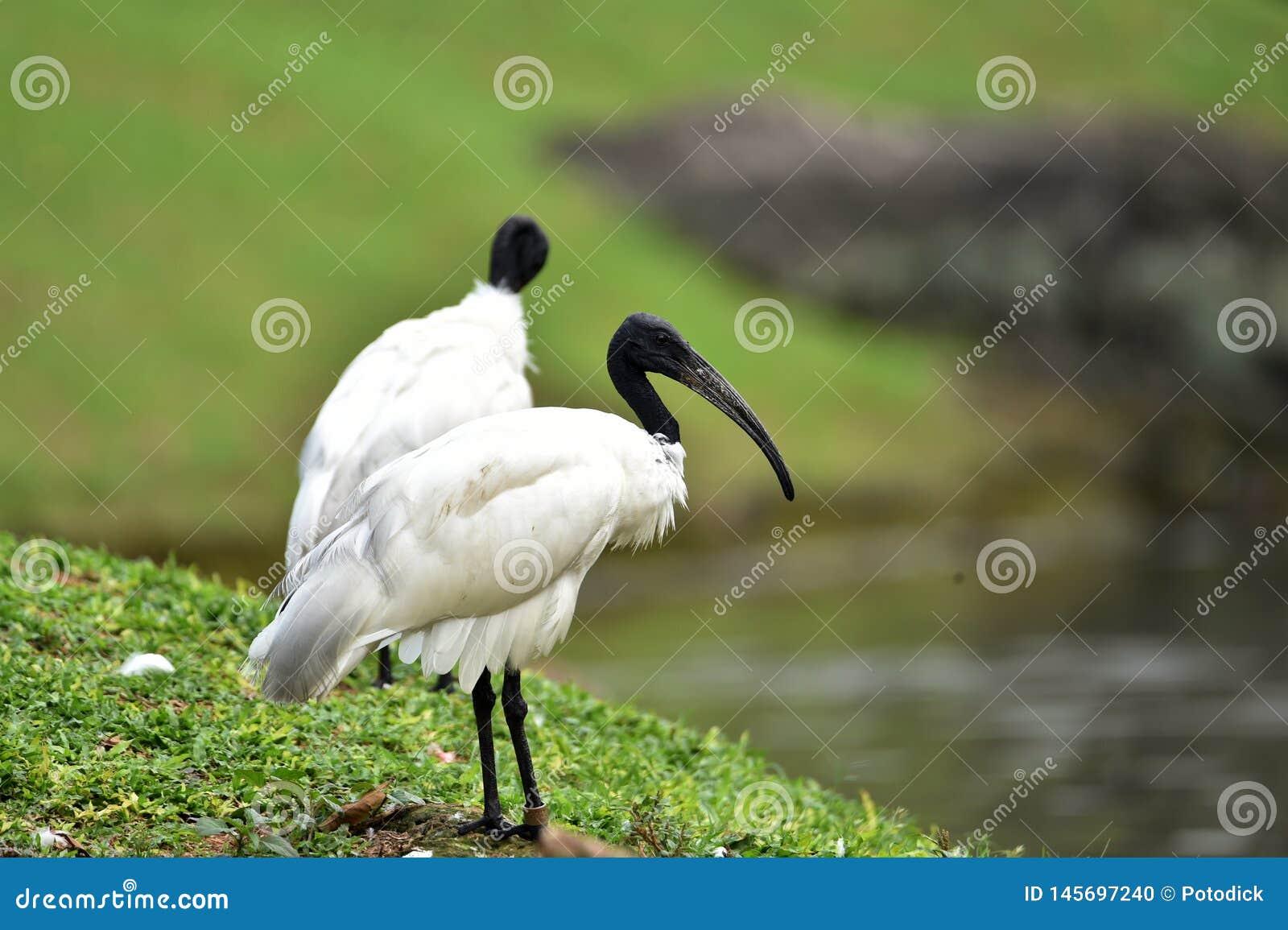 Przewodz?cy ibis d?ugiego, ko?lawego czarnego belfra, bez pi?rek