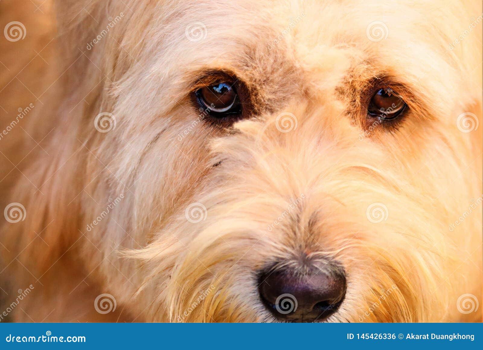 Przewodzi psa i brązów oczu