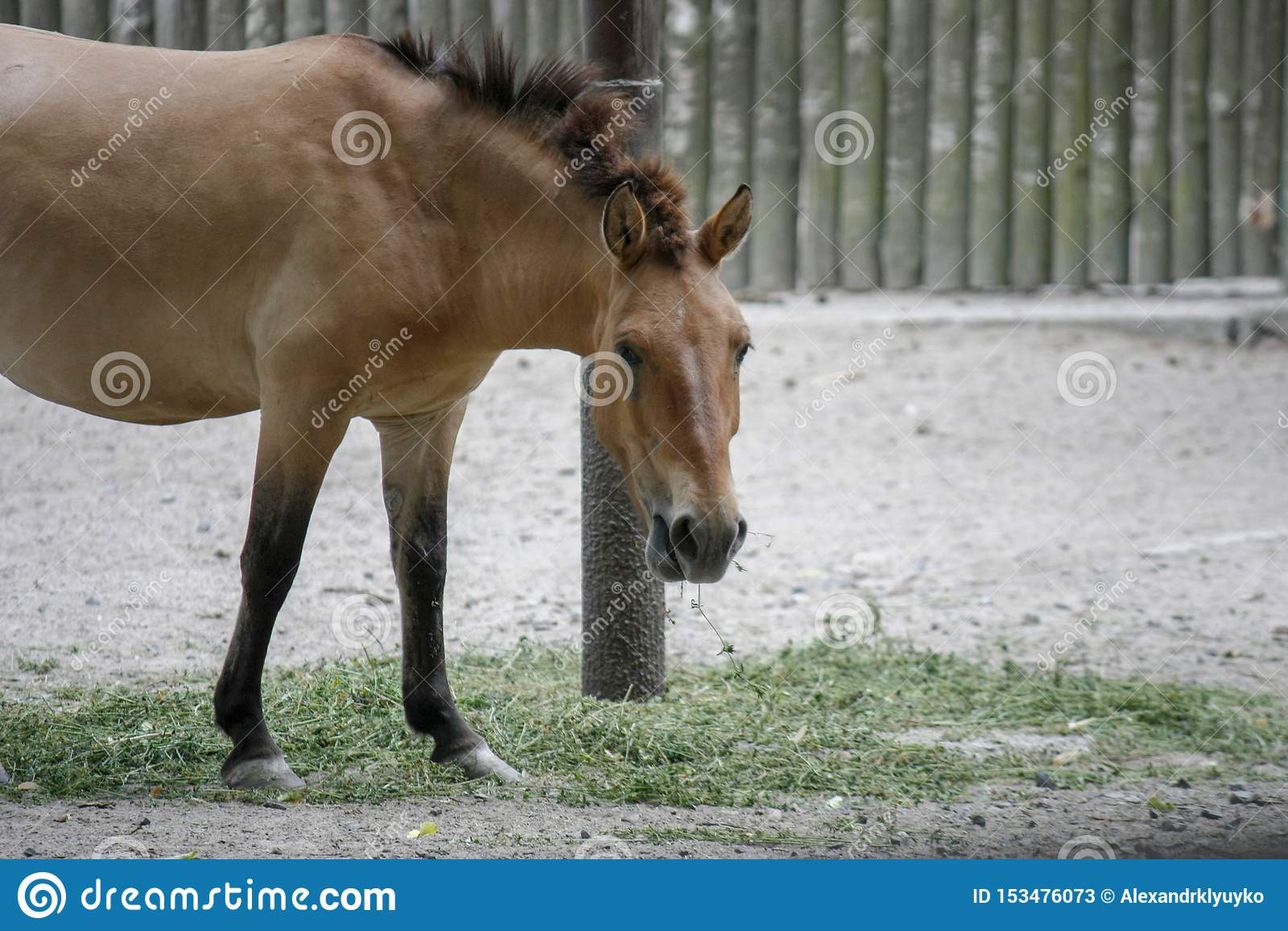Przhevalsky&-x27; s koń, także dzwoniący Mongolski dziki koń lub Dzungarian koń, żuć siano i spojrzenia w kamerę