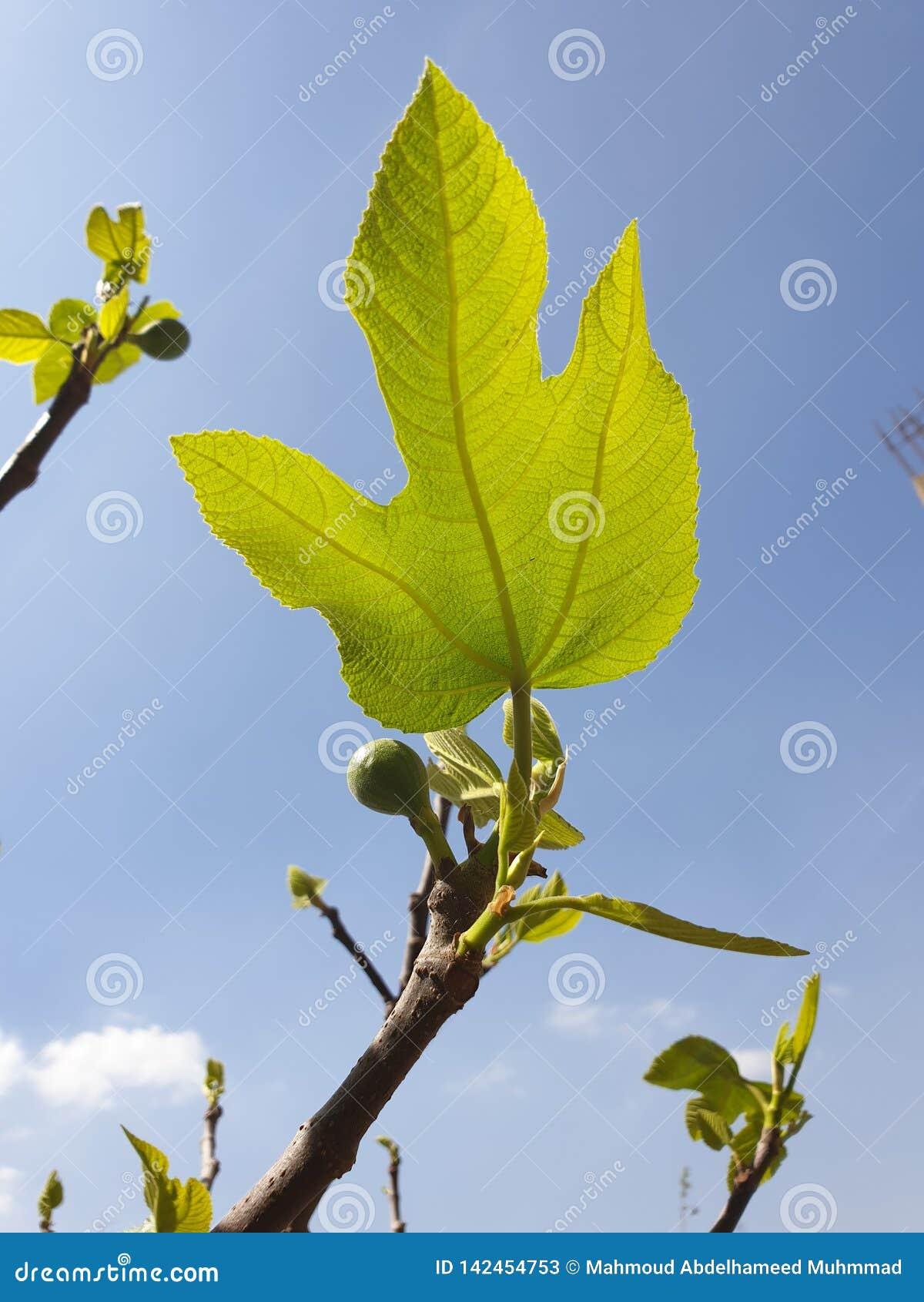 Przy ranku liściem figi drzewo