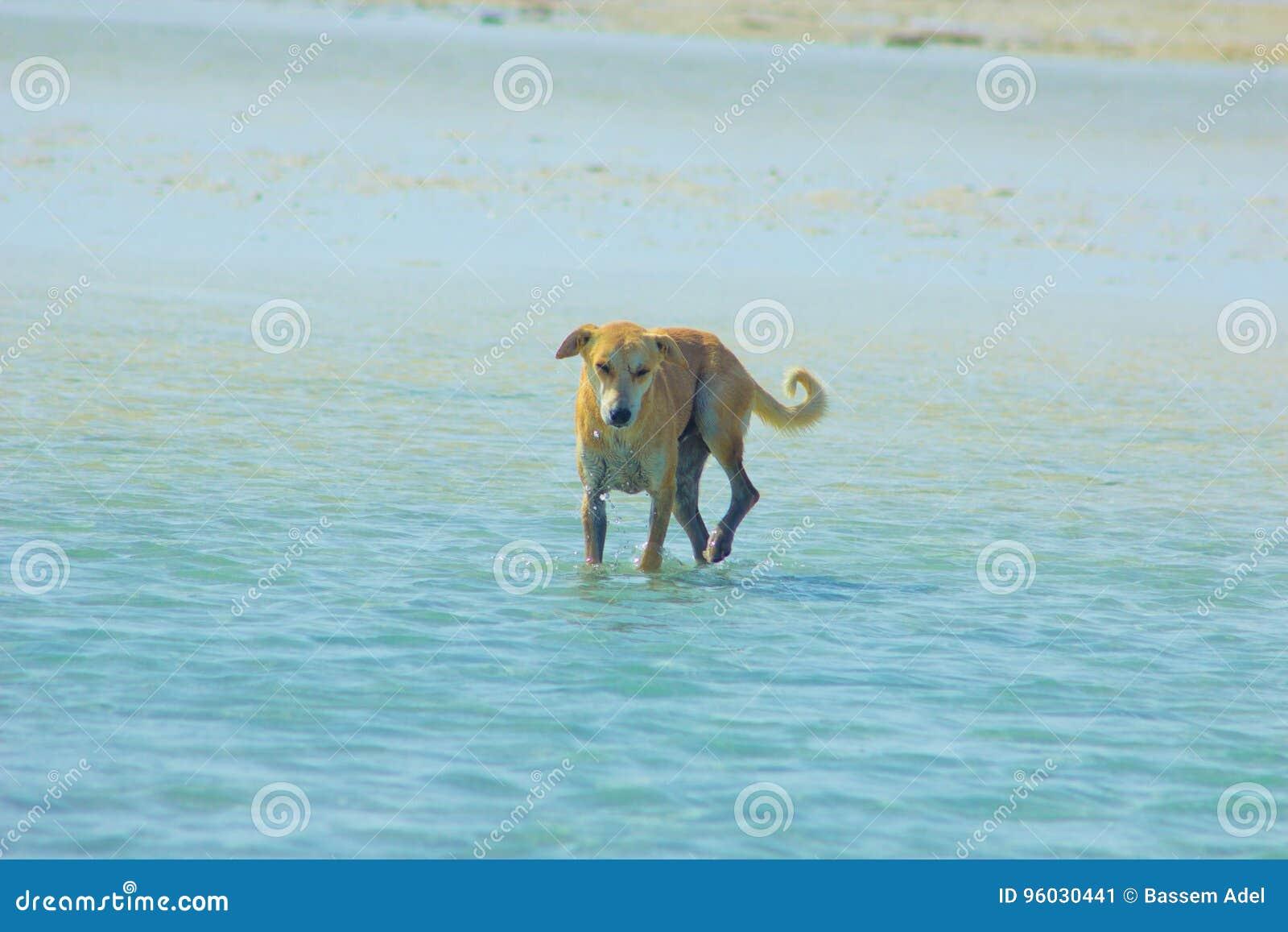 Przybłąkany pies Wiesza wokoło na plaży Cieszy się wodę